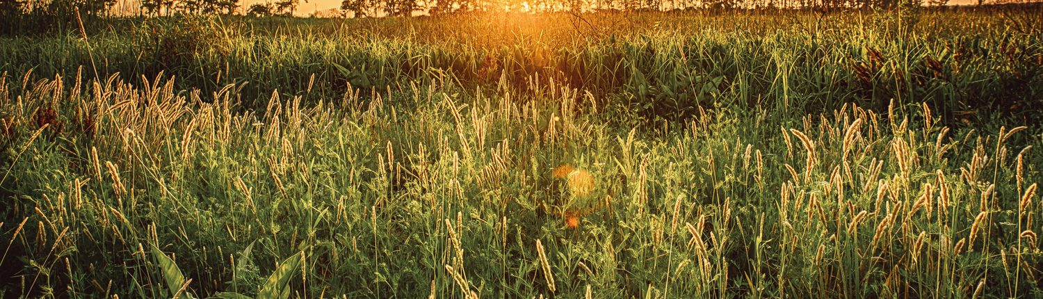 A warm sunset captured in Madisonville, Louisiana featuring a field a tall grass or Sea Oats